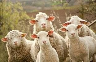 Θανατώθηκαν 600 πρόβατα