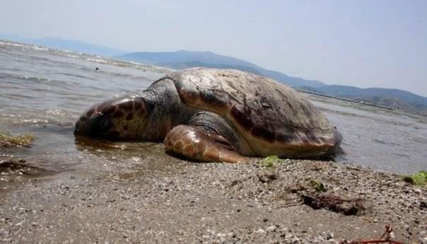 Νεκρή θαλάσσια χελώνα εντοπίστηκε στην Ρέμβη της Νέας Ηρακλείτσας