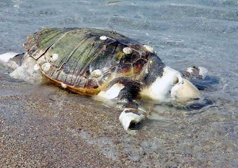 Θαλάσσια χελώνα εντοπίστηκε νεκρή σε παραλία στο Παληό