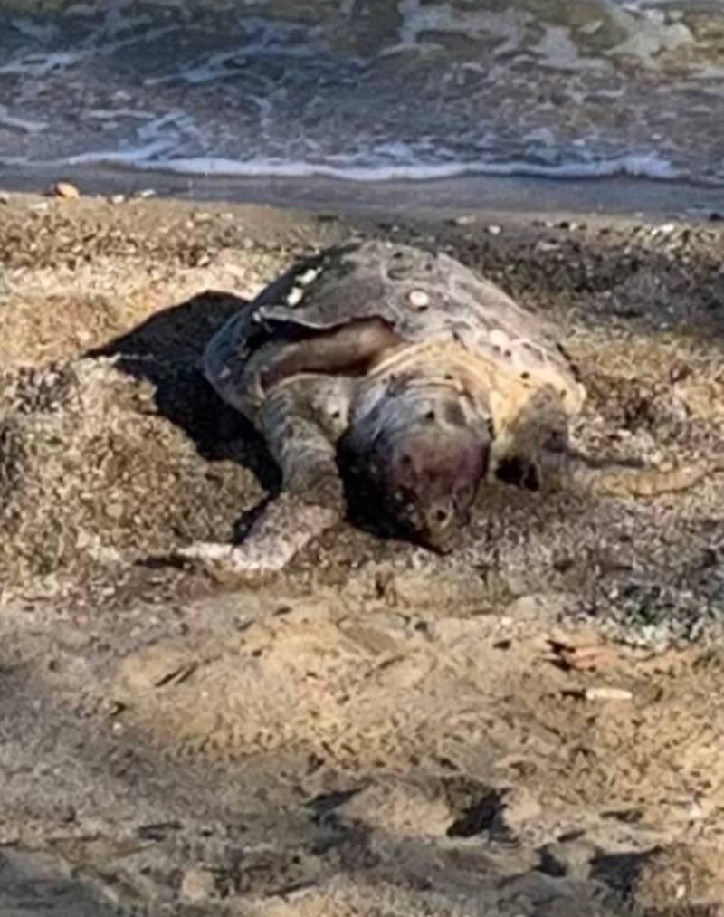 Νέο περιστατικό νεκρής χελώνας