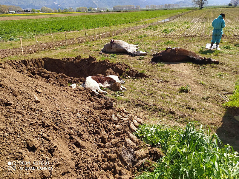 Δηλητηρίασαν άλογα και σκυλιά στο Δάτο