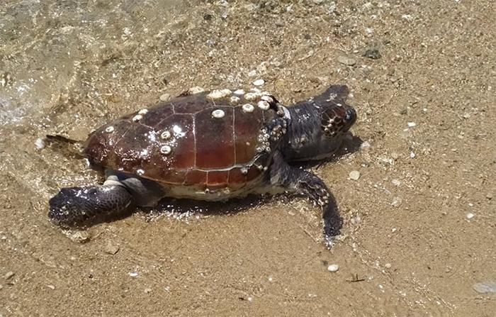 Νεκρή θαλάσσια χελώνα στην Παραλία Οφρυνίου (φωτογραφία)