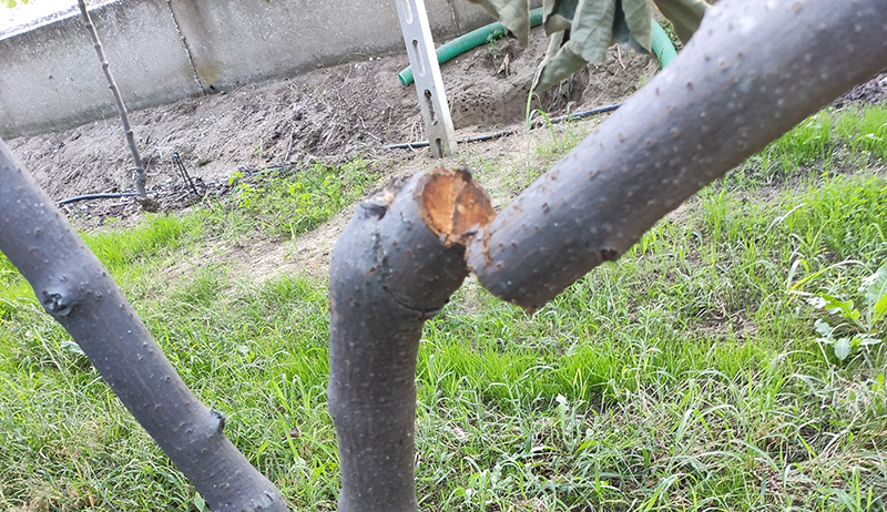 Κατέστρεψαν με πριόνι 25 δέντρα-ακτινίδια στην Κεραμωτή!  (φωτογραφίες)